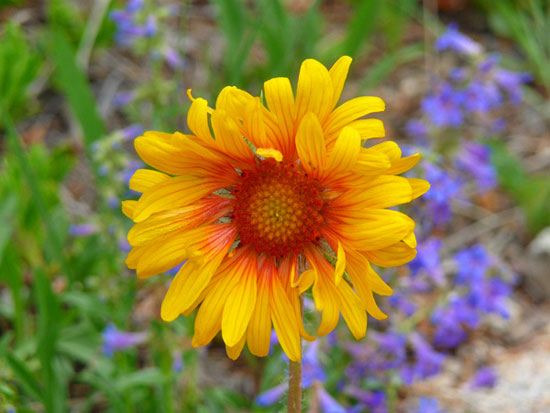 A Blanket Flower blooms in Frazer Meadows