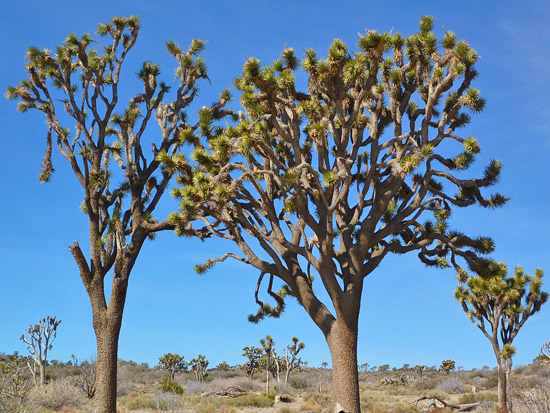 Joshua Tree flats on the Stubbe Springs Loop