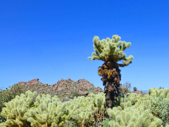 The Cholla Cactus Garden features a high concentration of Teddy Bear Cholla