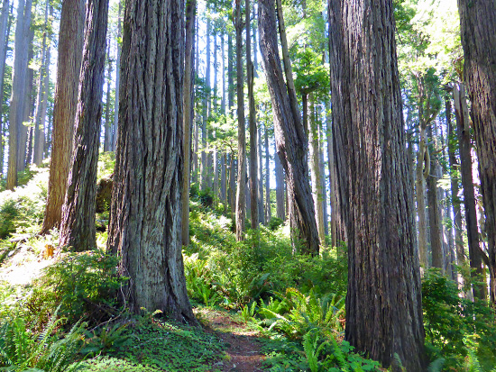 Redwoods mix with fir and hemlock on the West Ridge Trail
