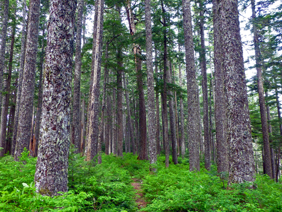 The Aurora Ridge Trail features a beautifully recovering Douglas fir forest