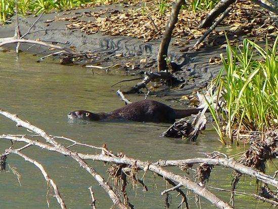 River Otter - Hoh River